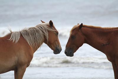 Wild Horses of Corolla, North Carolina, USA