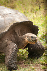 Lunch break for the 100 year old tortoise.