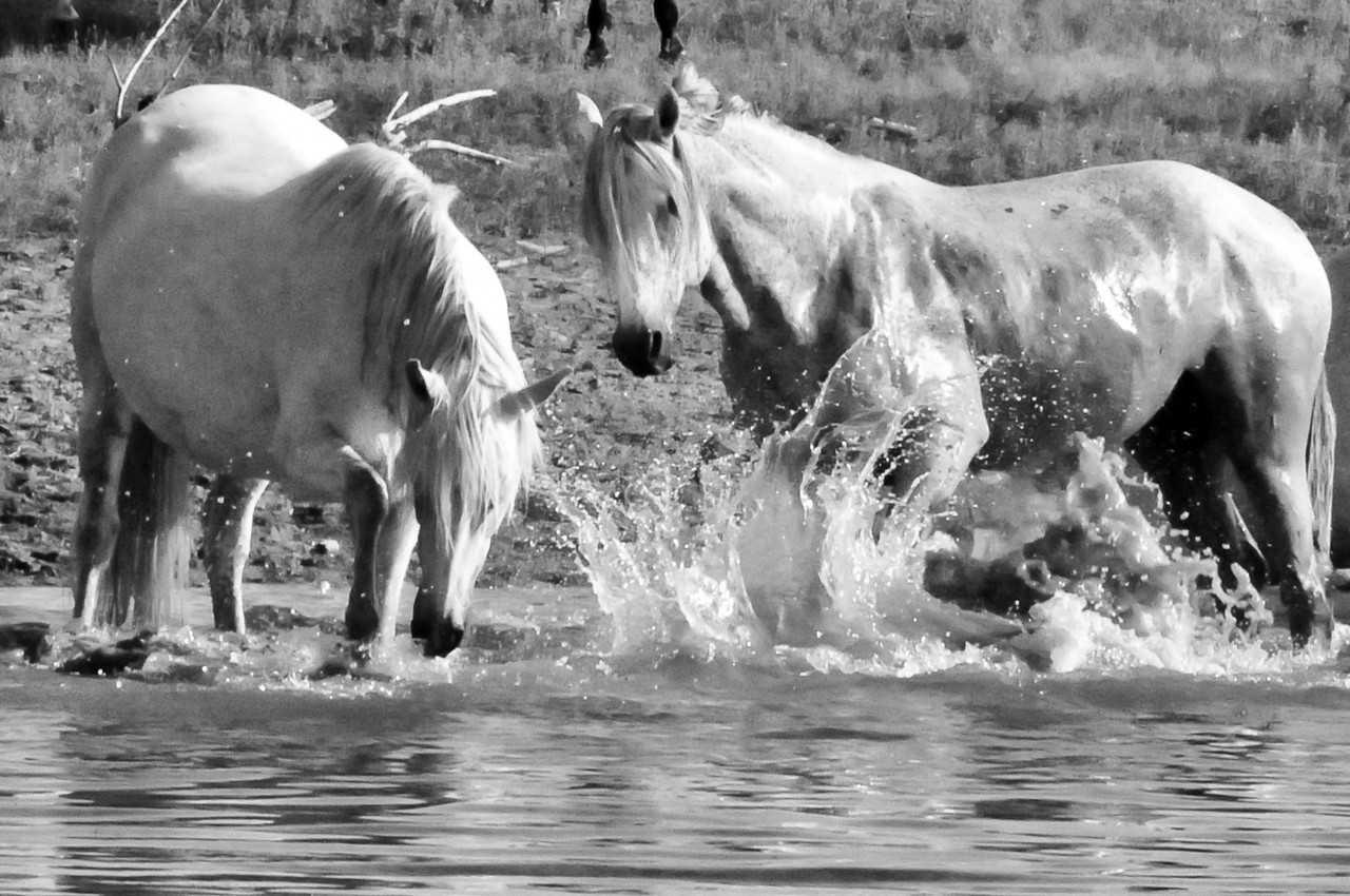 Wild Horses near Kaw Lake