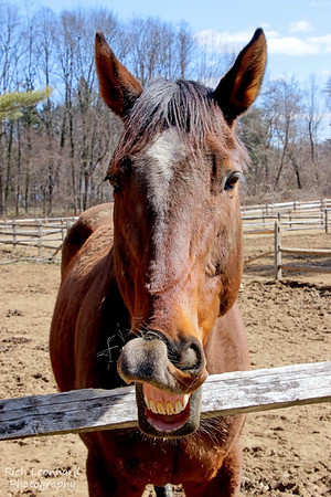 Smiling Horse at Muttontown Preserve, NY.