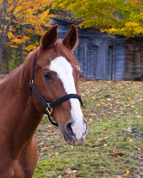 Lace. This beautiful horse belongs to our neighbor in Maine.