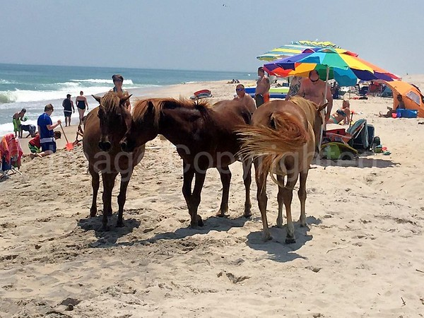 Ponies on beach at Assateague