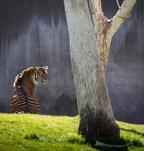 Tiger silently waiting.