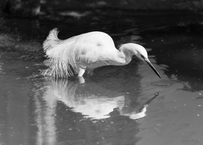 Reflection of Snowy Egret in black and white.