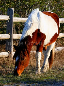 Painted Pony at Assateague - 12/29/06
