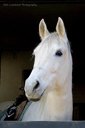 Beautiful white Horse at Muttontown Preserve.