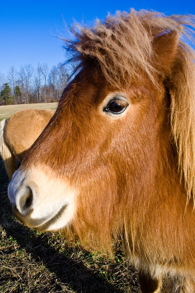 Brown Minature Horse (2 of 1)