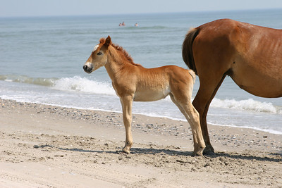 Baby Wild Horse on the Beach