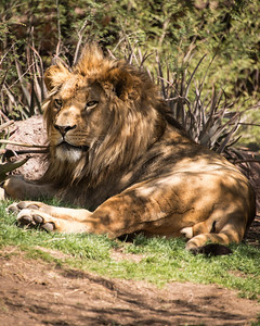 Lions, tigers and bears - Oh my!  His majesty the Lion resting in the shade.