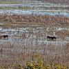 Paynes Prairie Wild Horses Wading