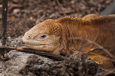 Golden iguana on the prowl.