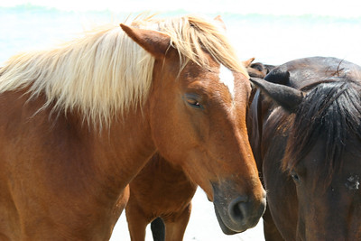 Close Up of Wild Horses