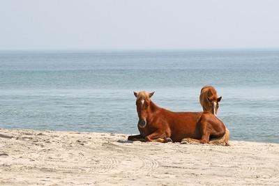 Wild horses on the beach in Corolla, North Carolina
