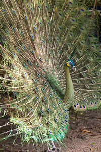 Peacock showing off its splendor
