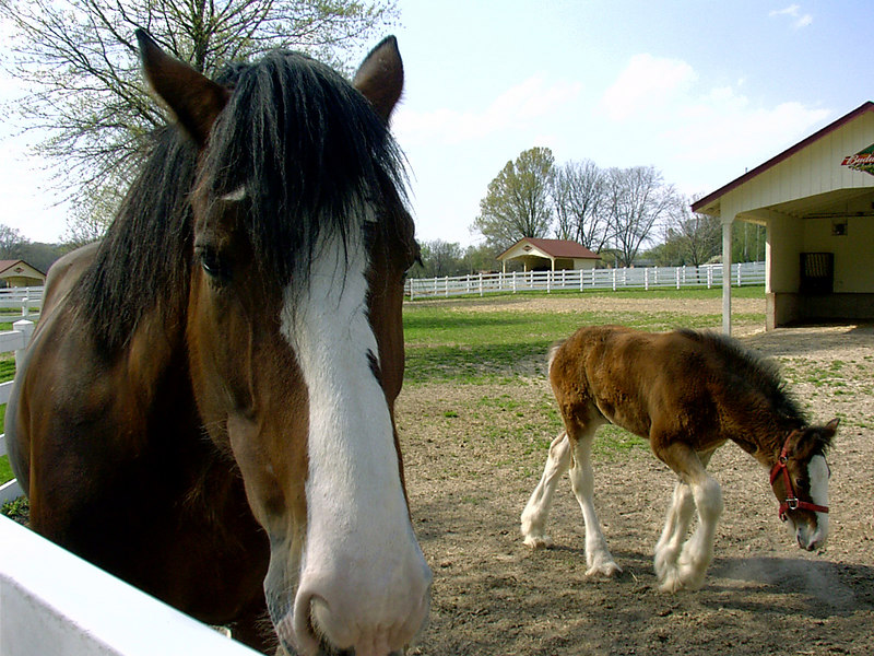 Clydesdale mother and colt