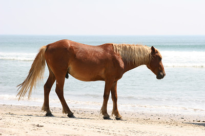Wild Horse of Corolla, North Carolina