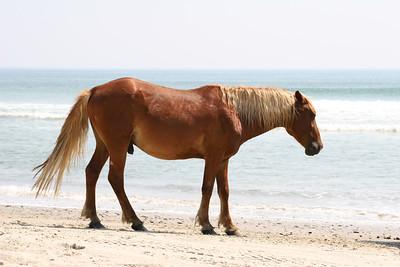 Wild Horse of Corolla, North Carolina