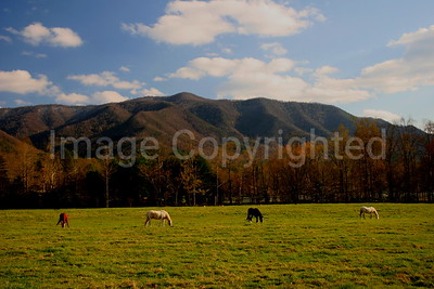 Horses in field at Cades Cove GSMNP - 1/22/08