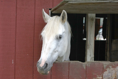 a White Horse sticking it's head out of a Window