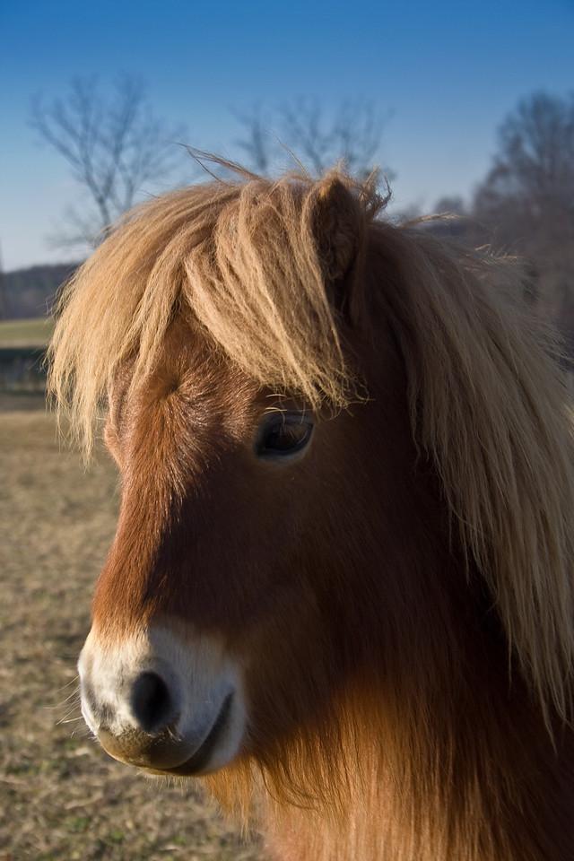 Minature Horse (1 of 1)