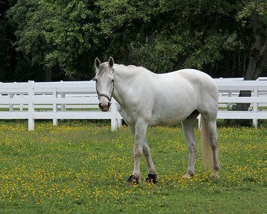 White horse at Nassau Equestrian Center