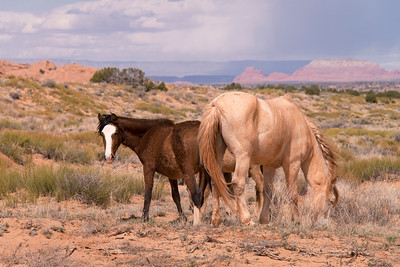 Wild Horses on Reservation