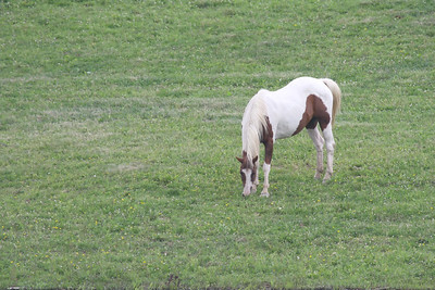 One brown and white horse grazing in a field