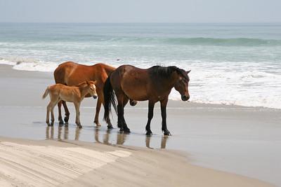 Wild Horses of Corolla, North Carolina