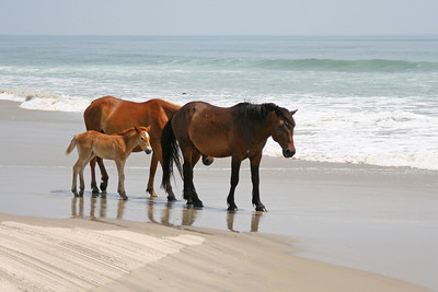 Wild Horses of Corolla, North Carolina