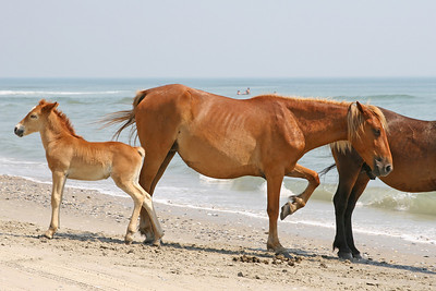A family of wild horses on the beach in Corolla, North Carolina