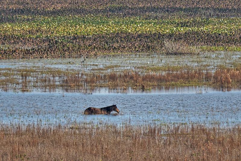Paynes Prairie Wild Horse Wading