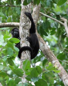 Howler Monkeys, Manzanillo, Costa Rica