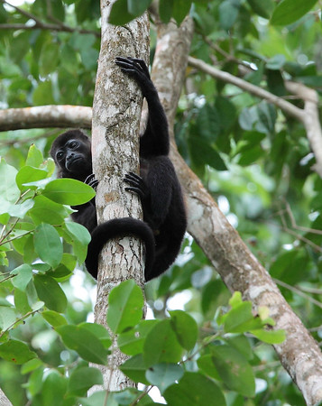 Howler Monkeys, Manzanillo, Costa Rica