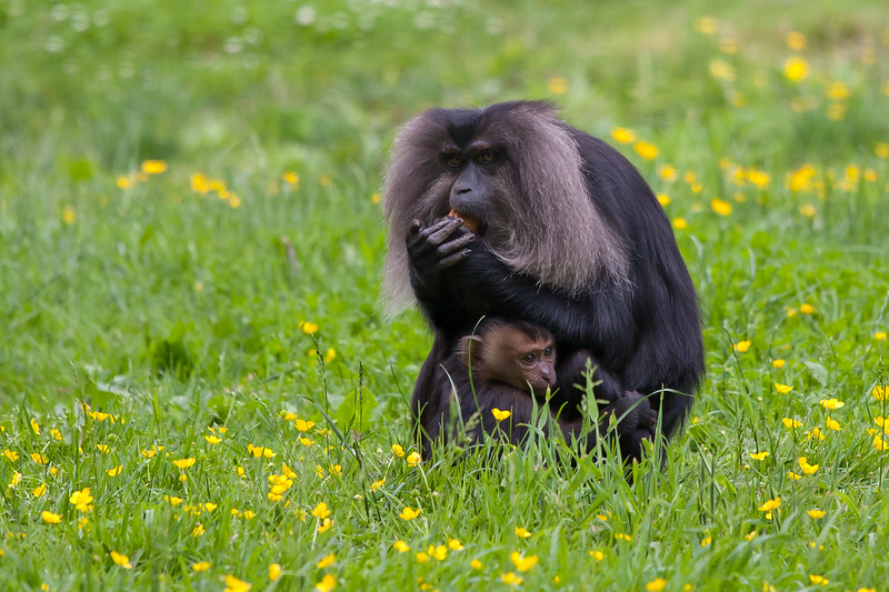 Lion Tailed Macaque