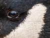 Canada Goose Eye  50x39 Black