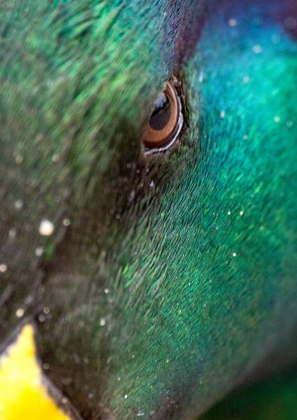Mallard eye 2