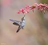 Flight Of The Hummingbird In B Flat Minor