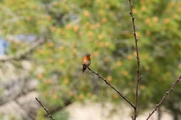 Hummingbird - Rufous in Action