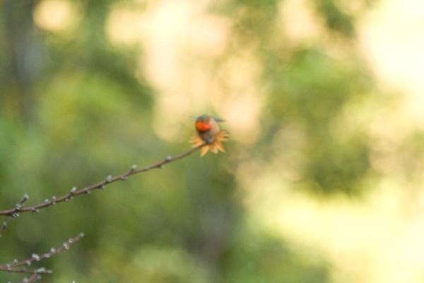 Hummingbird in Abstract Flirtation