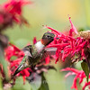 Hummingbirds 27 June 2017-0646