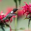 Hummingbird 26 June 2017-0381