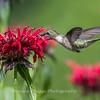 Hummingbirds 27 June 2017-0623