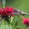 Hummingbirds 27 June 2017-0625