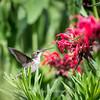 Hummingbirds 27 June 2017-0686