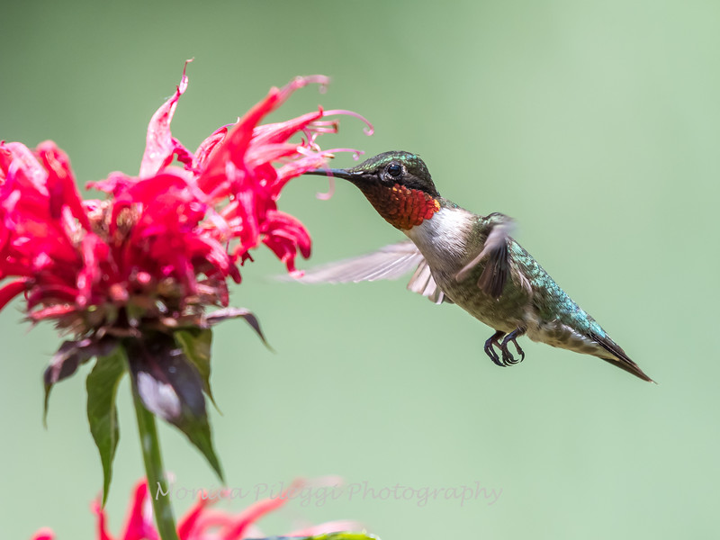 Hummingbird 26 June 2017-0448