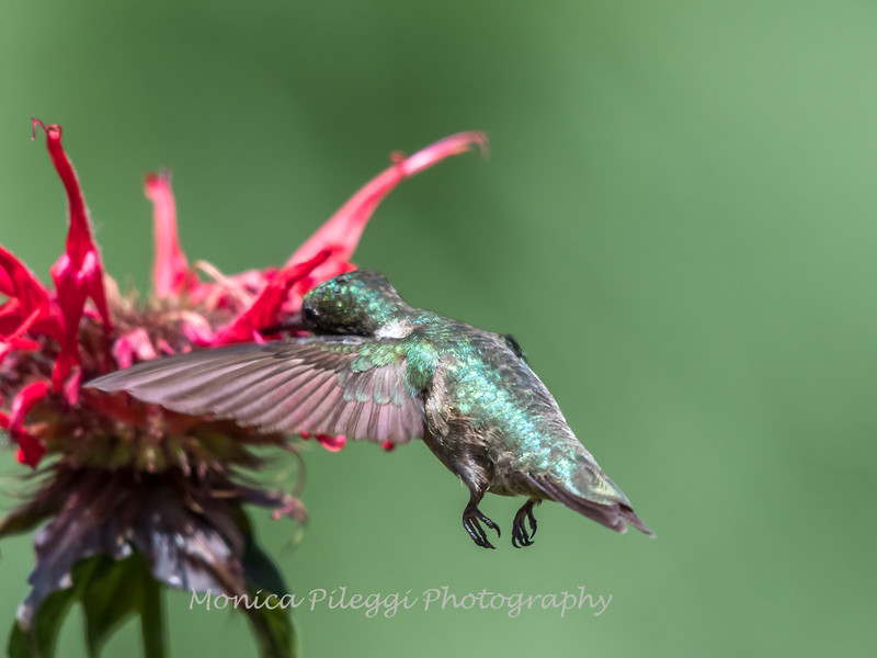Hummingbird 26 June 2017-0425