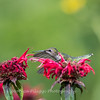 Hummingbirds 27 June 2017-0662