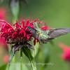 Hummingbirds 27 June 2017-0630