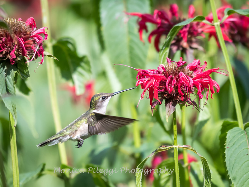 Hummingbirds 27 June 2017-0695