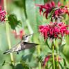 Hummingbirds 27 June 2017-0695